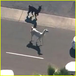 The Big Llama Chase: Full Video & Twitter Reactions!