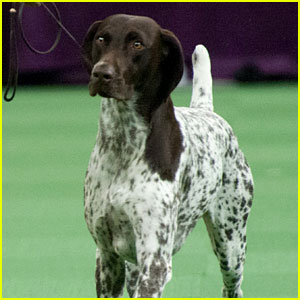 Who Won Best in Show at Westminster Dog Show 2016?