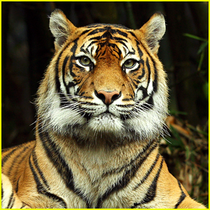 Tiger at Bronx Zoo Tests Positive For Coronavirus