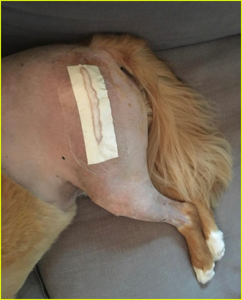 Chris Evans dog recovering from surgery